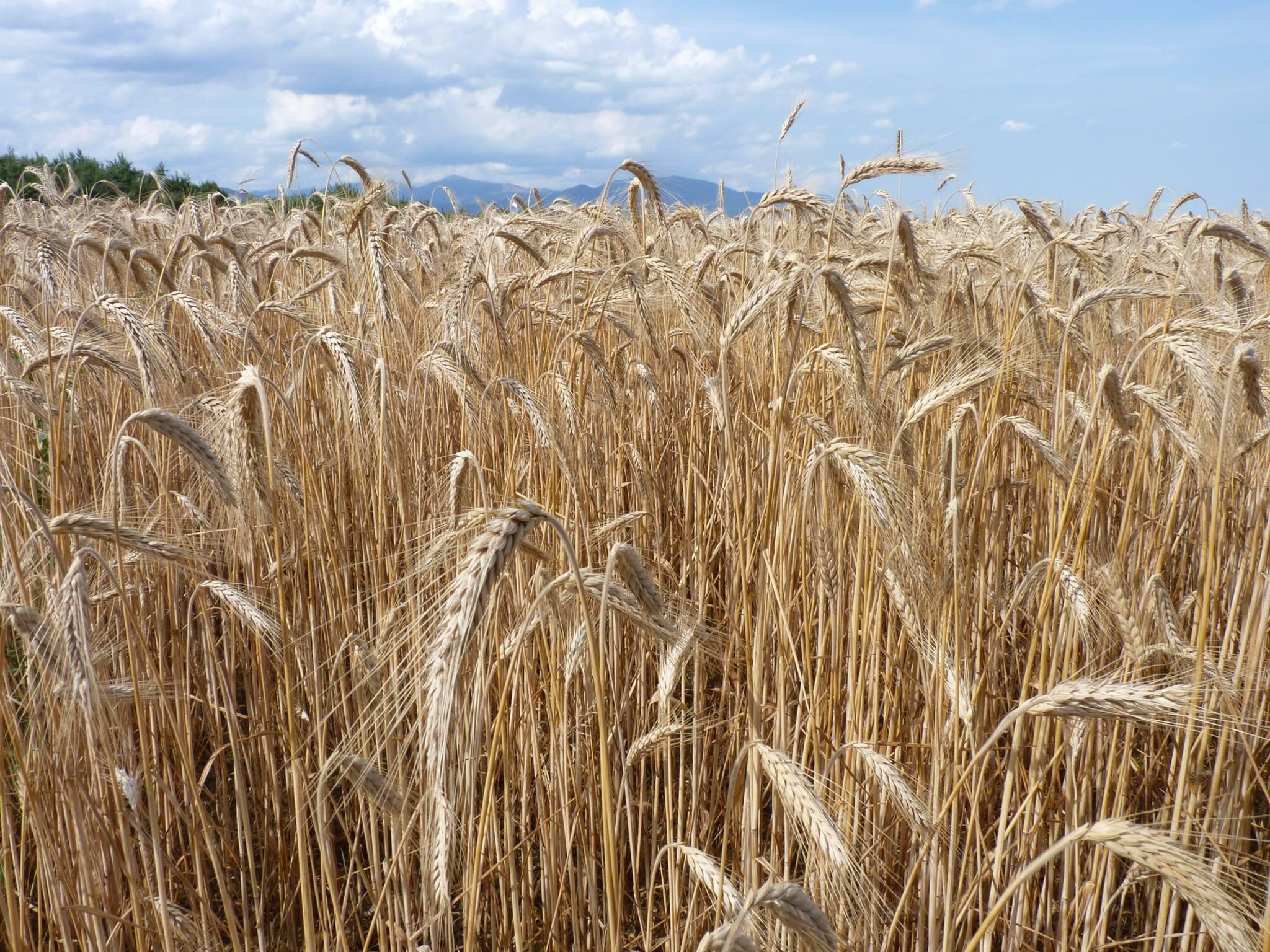 L'été et son blé